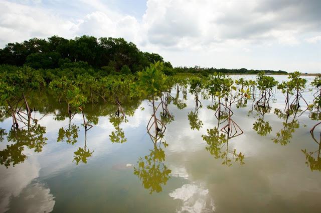 Mangroves à Bali
