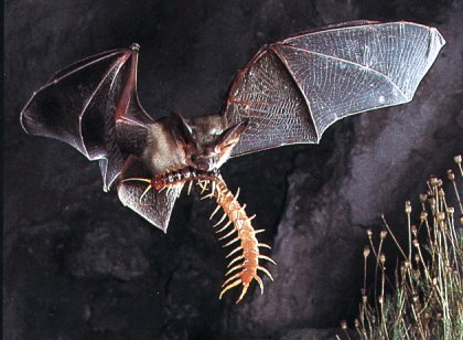 bat eating a centipede