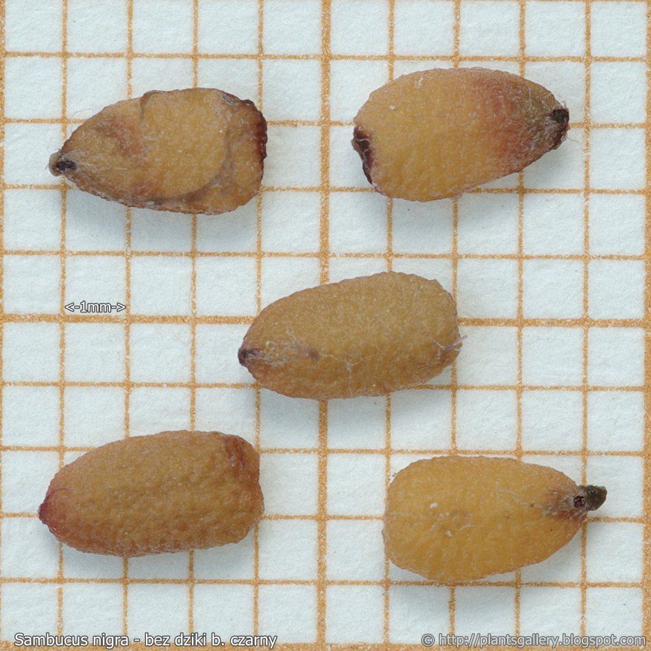 sambucus nigra seeds