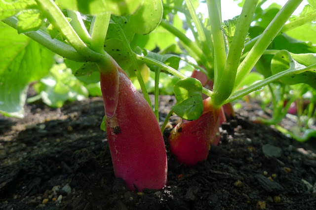 Heirloom French Breakfast Radishes