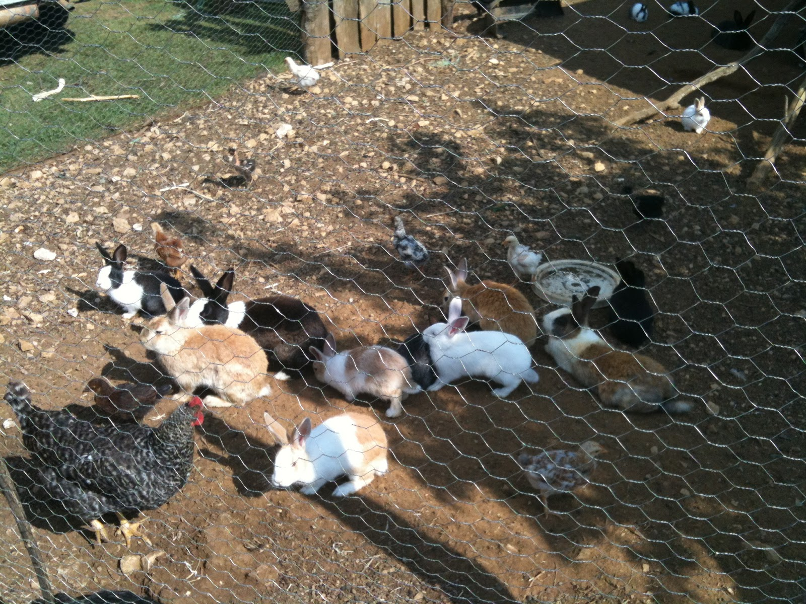 chickens and rabbits Medirabbitcom is funded solely by the generosity of donors every donation, no matter what the size, is appreciated and will aid in the continuing research of medical care and health of rabbits.