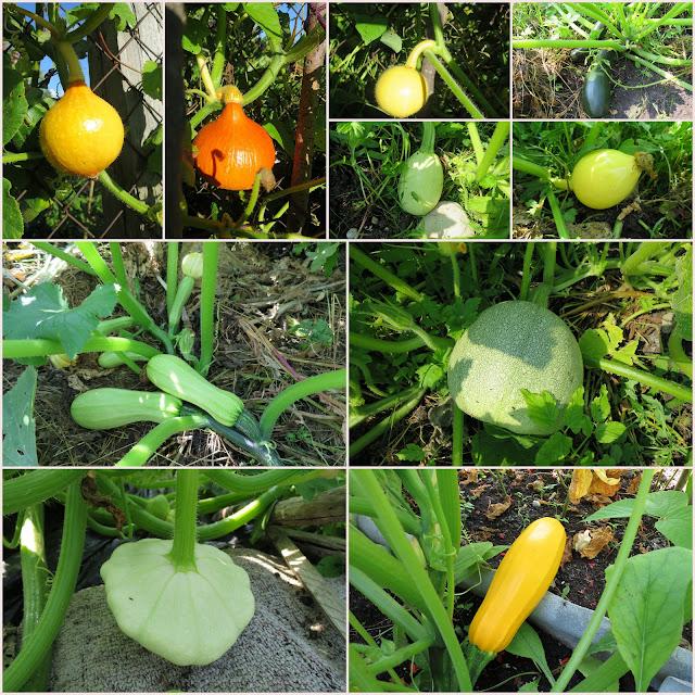 урожай, август, аленин сад, кабачки, тыквы