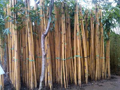 jual bambu kuning | bambu panda