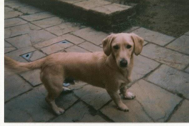 dachshund pending adoption mx eu dachshund mix my sister a dachshund ...