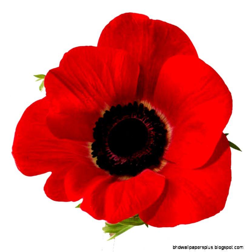 1920x1200px 979524 Poppy Flower 92717 KB  04092015  By