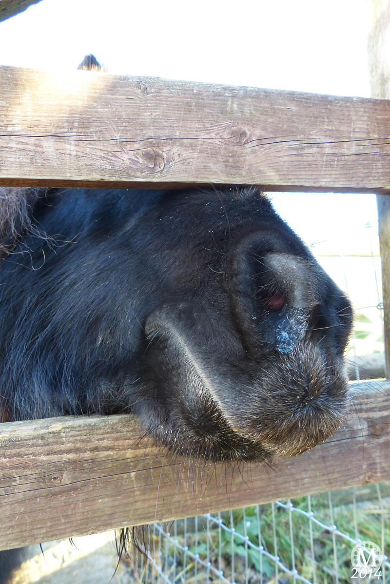 Miniature Horse at Foxborough Farm, Hainault Forest Country Park