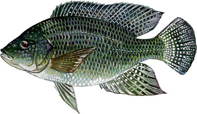 Terrierman 39 s daily dose why don 39 t i eat fish for Is tilapia a man made fish