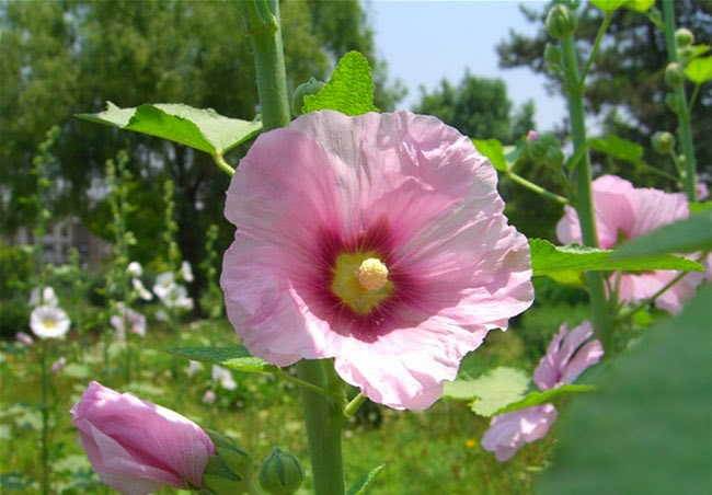 Hollyhock Flowers Pictures