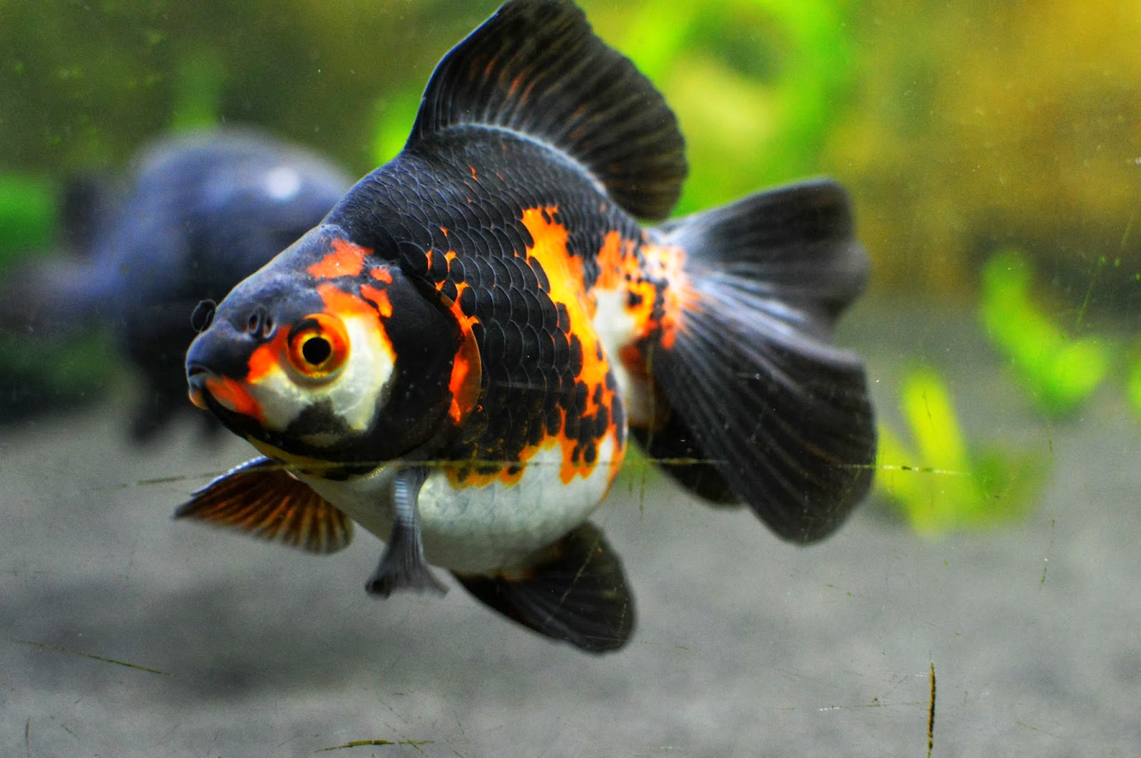 how to tell if fancy goldfish is pregnant
