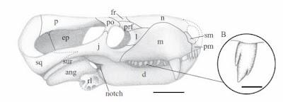 Charassognathus skull