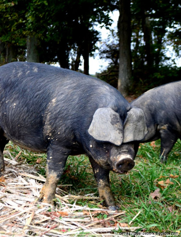 Raise Pigs on Woodlots for Tastier Pork   Hobby Farms