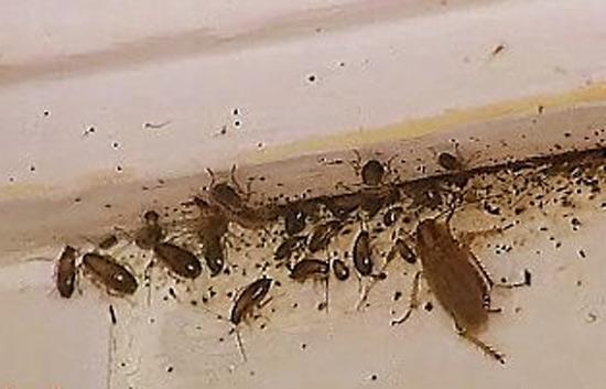 Biolog a de las cucarachas for Como eliminar cucarachas del desague