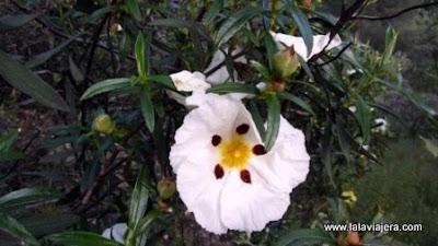Jara Pringosa, Flora Sierra Morena