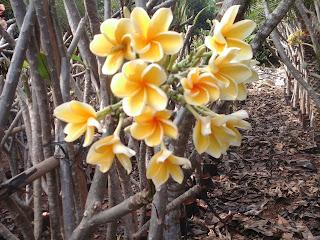 pohon kamboja bunga kuning