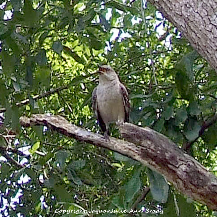 Adult Mockingbird Protective Behavior 3