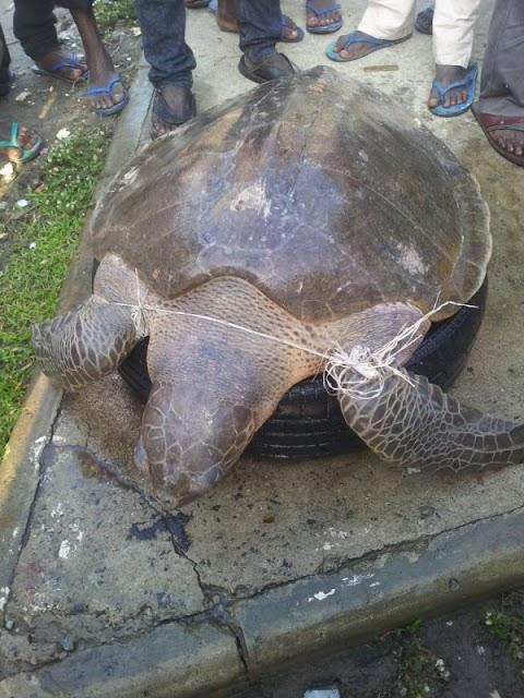 See Pic Of Gargantuan Turtle Found In Lagos Yesterday