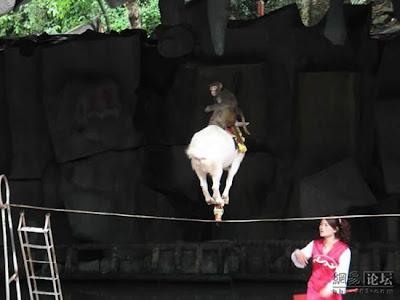 aksi kambing