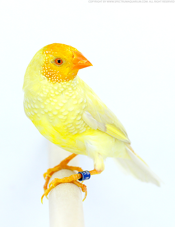 Yellow Star Finch Spectrum Aquari...