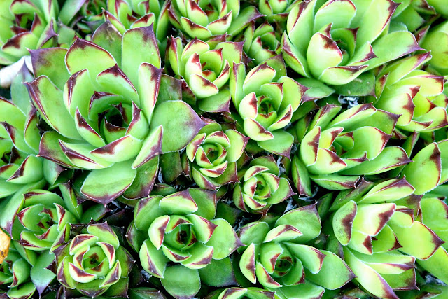 bright green succulents