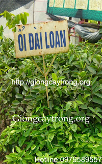 cay-oi-dai-loan-giong