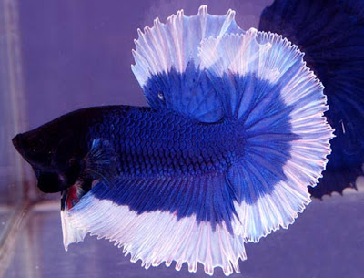 A beautiful blue colored Siamese fighting fish