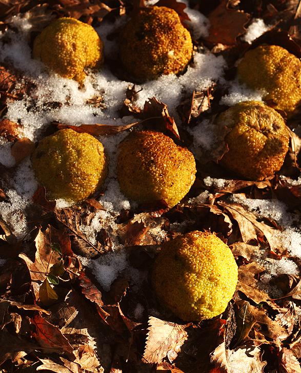 Osage Oranges Matthiessen State park
