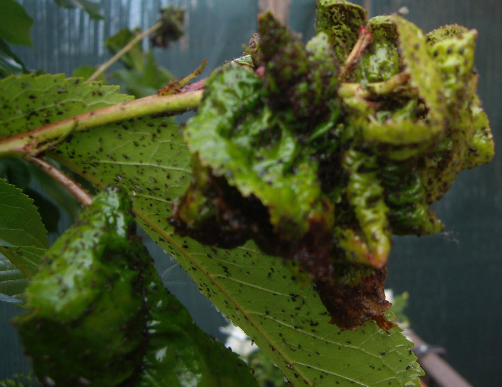 La mar de verde marzo 2013 - Pulgon en plantas ...