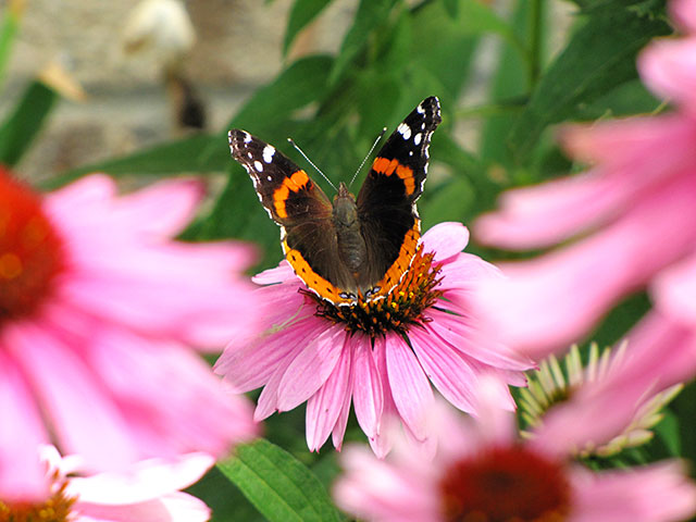 Monarch butterfly on a Purple Coneflower @ houseofhawthornes.com