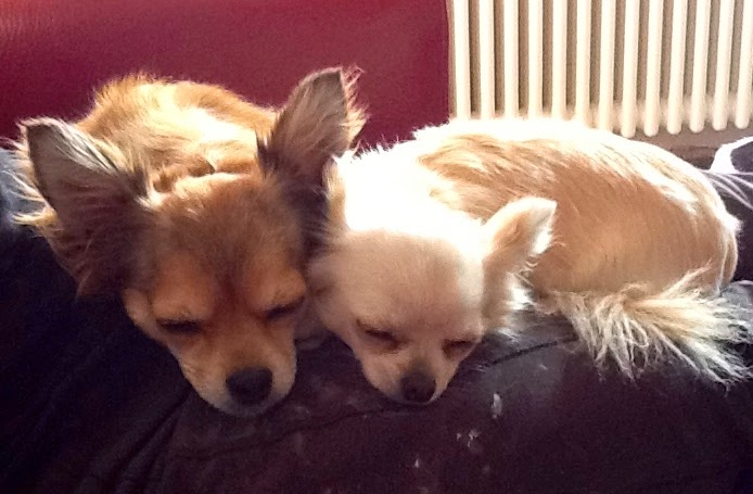 Two Sleeping Chihuahuas