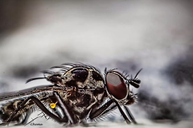 Fotografía macro de una mosca con el torso amputado