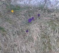 Krokusse gesichtet  - Wird es Frühling?