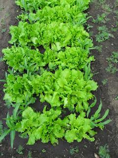 Грядка салата с кукурузой