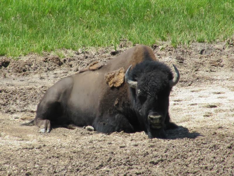 bisonte de Yellowstone, bison, animales de yellowstone