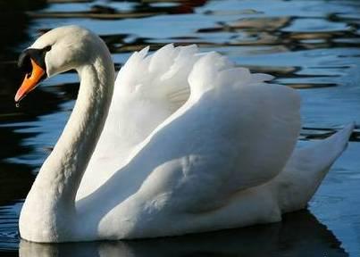 Cisne paseando en el agua
