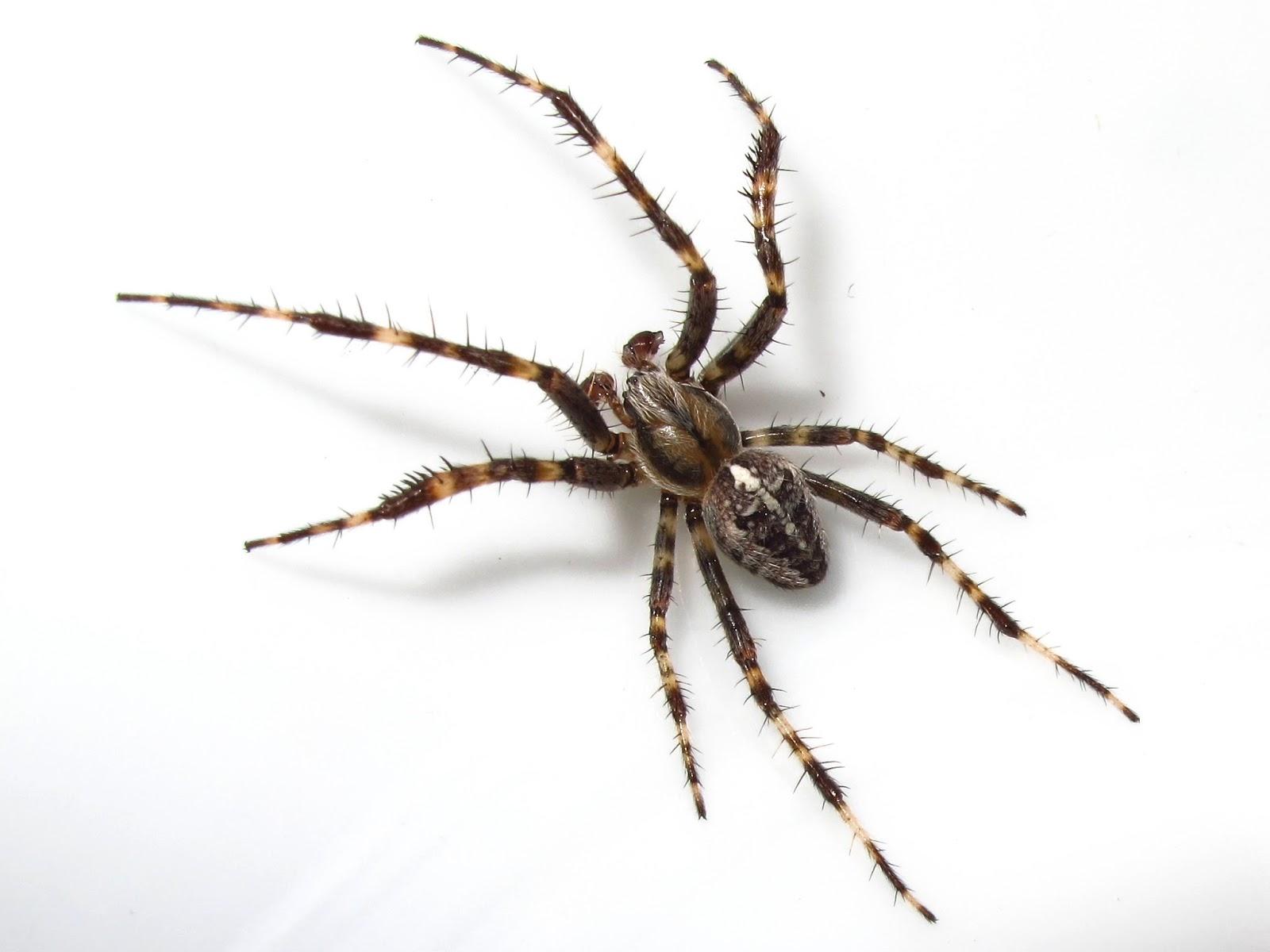 male garden spider - Garden Spider