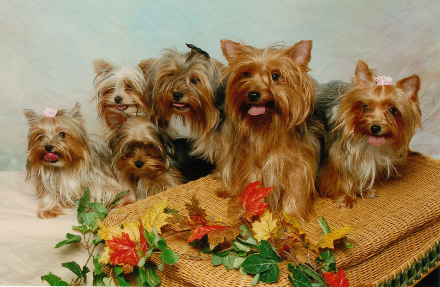 All List Of Different Dogs Breeds: Yorkie Dogs - Small Dog Breeds