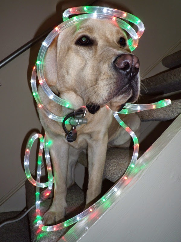 Christmas lights Labrador Cooper