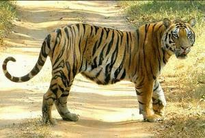 2226 Tigers in India