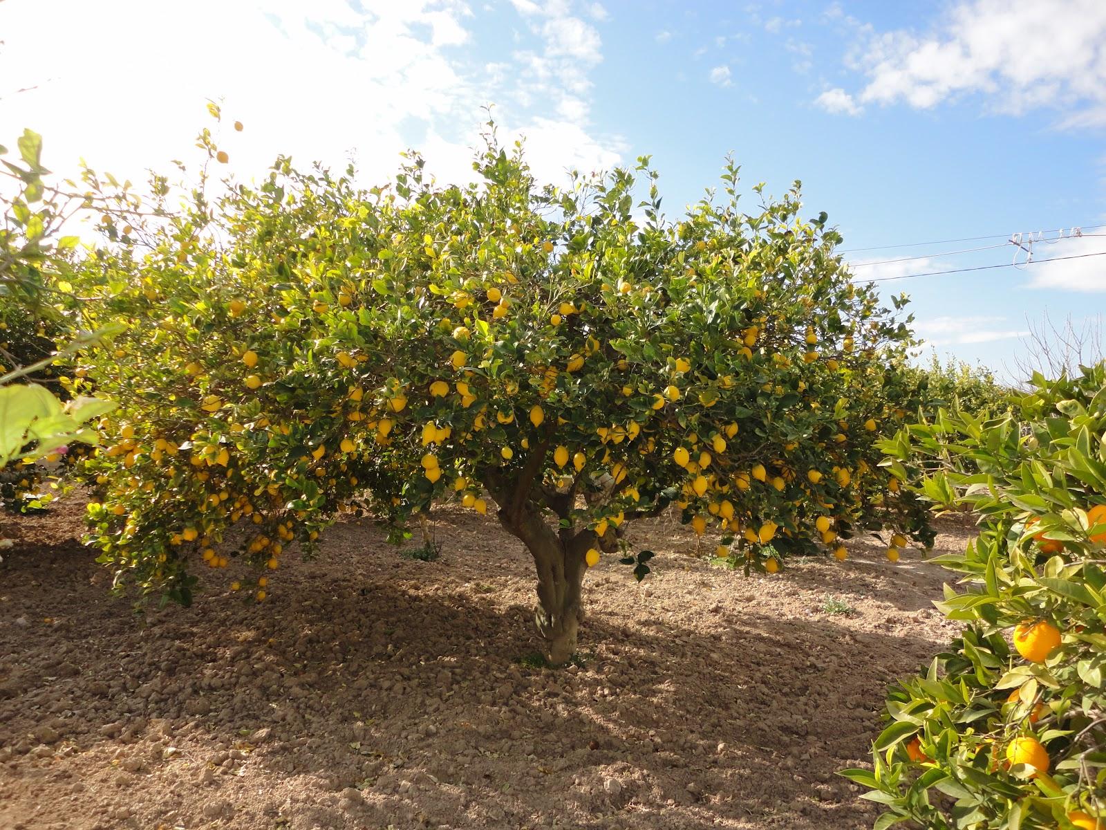 Nuestros limoneros ~ www