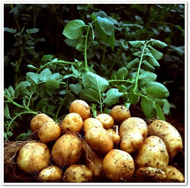 Сад и огород картофель