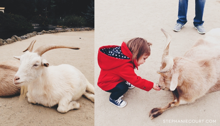 """feeding the goats at the san francisco zoo"""