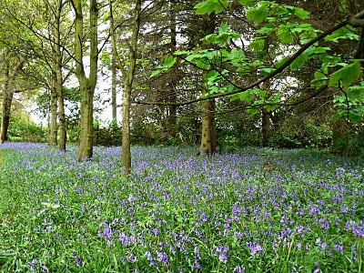 The woods around Ripley are fine place to see bluebells in May