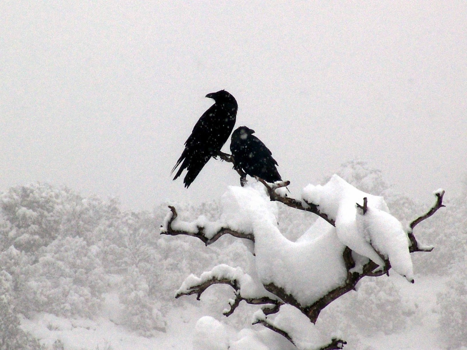 crow in snow wallpapers hd - photo #3