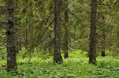 Photo of coniferous trees and lush greens in Jura forest