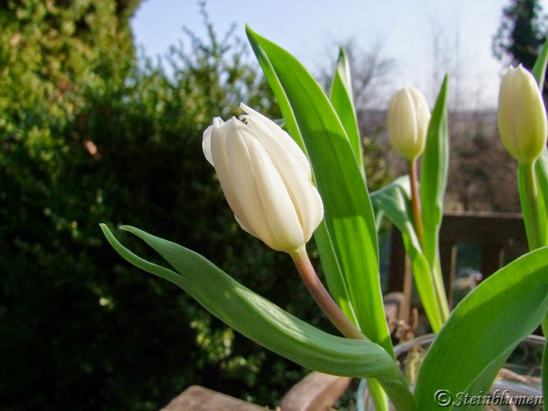 tischdeko tulpen