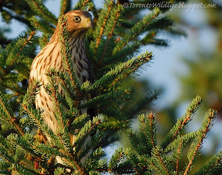 Hawk in Woodbridge, Ont, Robert Rafton