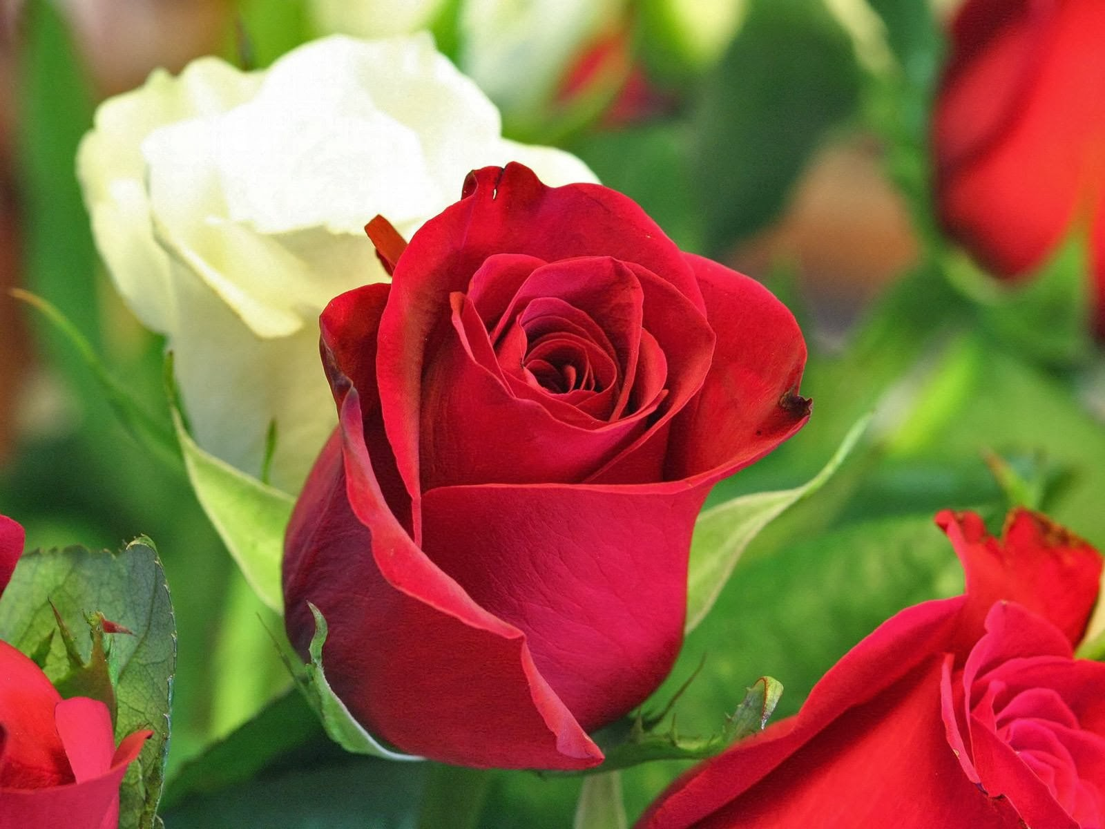 Beautiful red white roses flower hd wallpapers izmirmasajfo