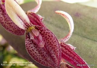 Pleurothallis strupifolia ,Humboldtia strupifolia,Pleurothallis bicolor Pleurothallis hookeri ,Restrepia liebmanniana ,Pleurothallis glaucophylla.