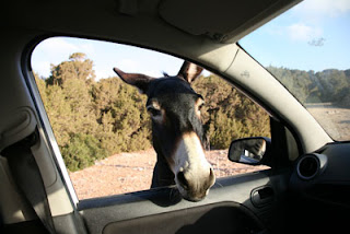 Wild Donkeys in North Cyprus