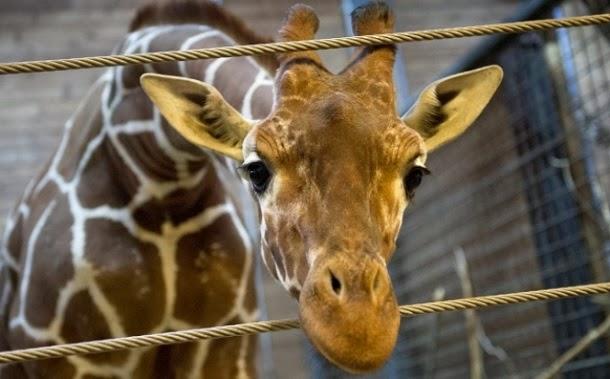 Zoo dinamarquês poderá matar outra girafa saudável